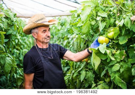 Friendly Farmer At Work Checking Tomato In Greenhouse