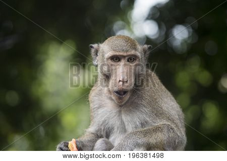 Portrait of monkey chewing food in Thailand