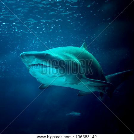 large shark under water in the sea at the surface