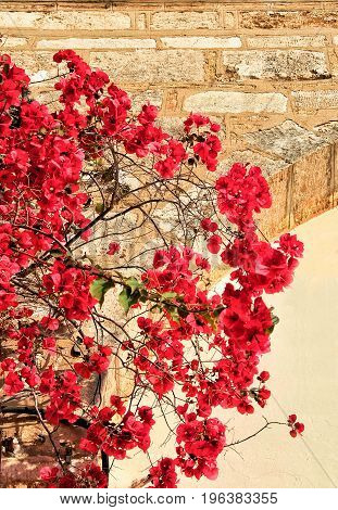 Bougainvillea plants with red flowers hanging on a stone wall in the sun