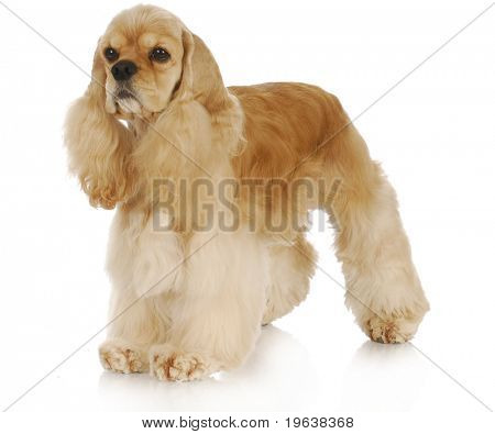 american cocker spaniel standing with reflection on white background - 3 years old poster