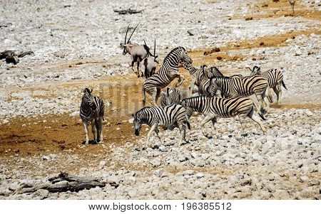 Two Zebra play fighting in the herd
