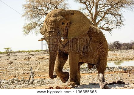 Massive Bull elephant lumbering along at its own pace