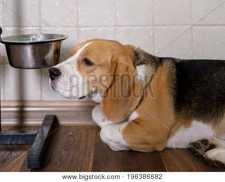 The Beagle dog is sad waiting for food near the empty bowl