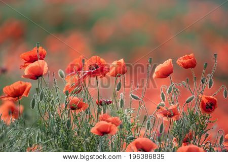 Beautiful summer meadow with blossoming wild poppies