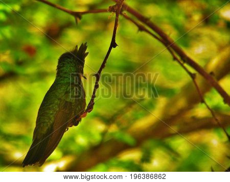 Antillean Crested Hummingbird on branch in St.Kitts
