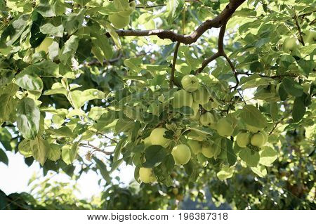 Branch of an apple tree with unripe fruits