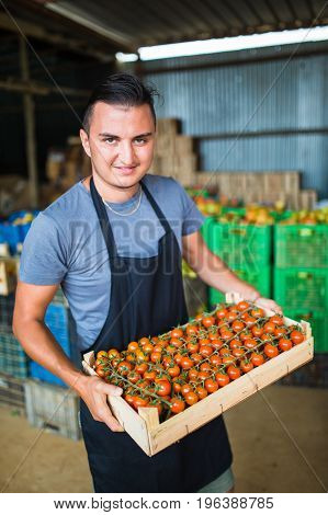 Happy  Farmer Carrying Tomatoes In A Greenhouse