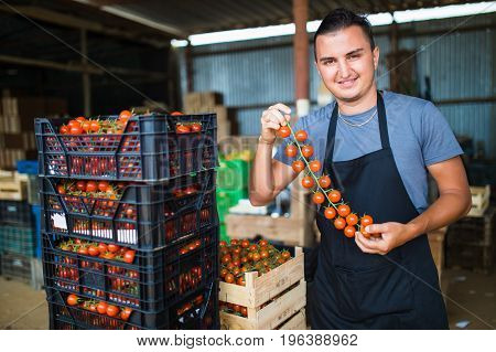 Farmer Man Collects Cherry Tomatoes With Scissors Harvest In Wooden Boxes In The Greenhouse Family B