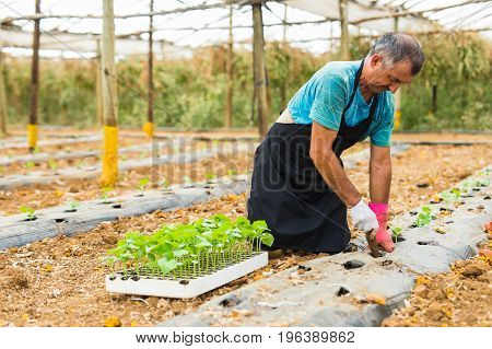 Senior Man Planting A Young Pepper Seedling In The Greenhouse