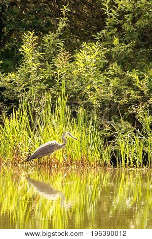 Nice Grey Heron Bird Stands In Shellow Of A Pond
