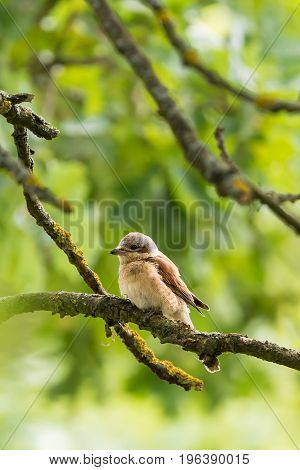 Nice Young Shrike Songbird Perched On The Branch
