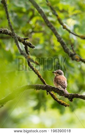 Nice Young Shrike Songbird Sits On The Branch