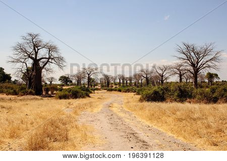 Avenue of Baobab trees in  the wilds of Ruaha