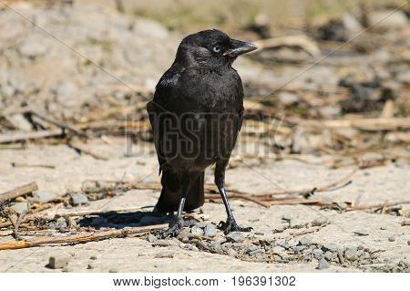 A young fledgling Jackdaw standing on the ground waiting for a  parent to return with food