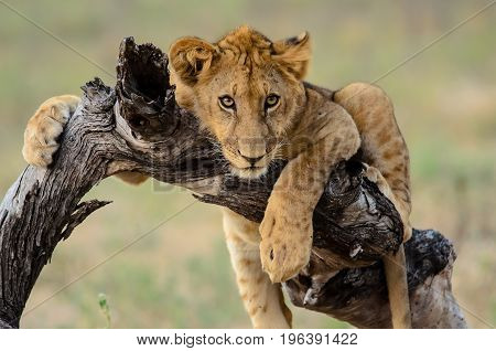 chilled out young lion on the branch of a tree