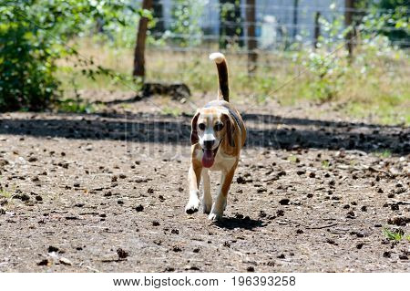 Single tricolor purebred beagle hunting hound dog running towards the camera