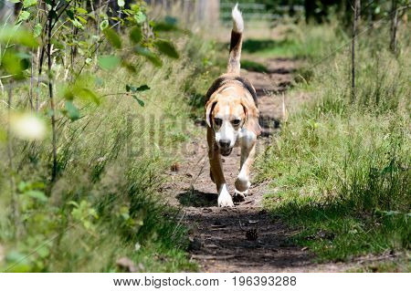 Single tricolor purebred beagle hunting hound dog running towards the camera on a trail path in a forest with fresh green grass plants on the side frontal shot