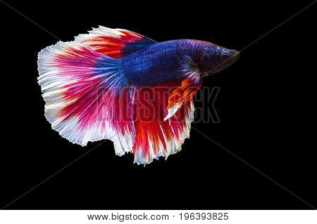 image of betta fish isolated on black background action moving moment of Flower Half Moon Betta Siamese Fighting Fish