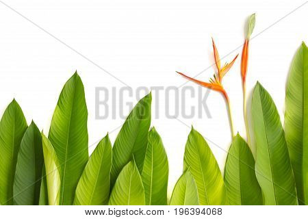 Beautiful red yellow and orange Heliconia (Heliconia spp.) flower tropical vivid color flower on white background heliconia or bird of paradise flower