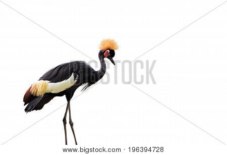 Black crowned crane Isolated on White Background