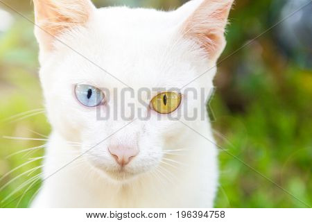 The Portrait Of White Colour Thai Cat With 2 Different Colored Eyes Selective Focus Cute Cat With Different Eyes Heterochromia Iridum Cute Cat Looking At Camera