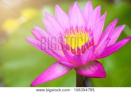 Beautiful Waterlily Pink Lotus Flower Plants In Pond With Green Leaf Background And Sunlight.