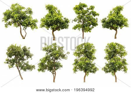 Collection Of Green Tree Isolated On White Background Tropical Trees Isolated Used For Design Advertising And Architecture