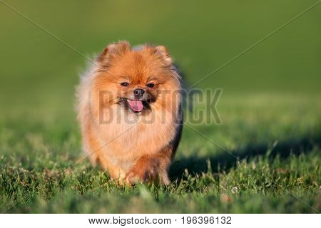 adorable red pomeranian spitz dog posing outdoors