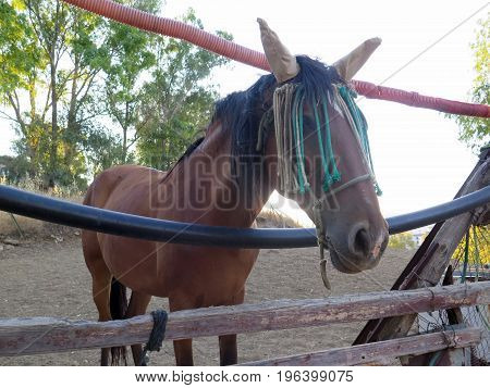 Brown Horse With Ear And Eye Protection From Flies Looking Through Makeshift Rustic Fence