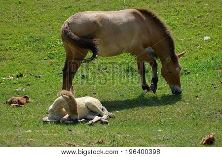 A wild Asian horse mother and foal