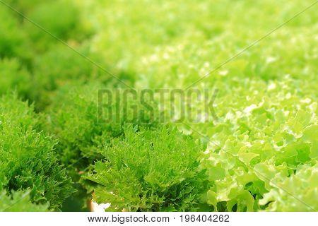 Organic hydroponic vegetable cultivation farm Frillice iceberg and green oak.