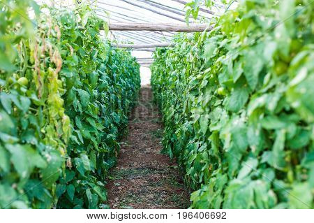 Rows Of Tomato Plants Growing In Greenhouse