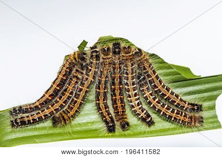 Black Caterpillar Of Common Duffer Butterfly ( Discophota Sondaica Boisduval ) Resting On Host Plant