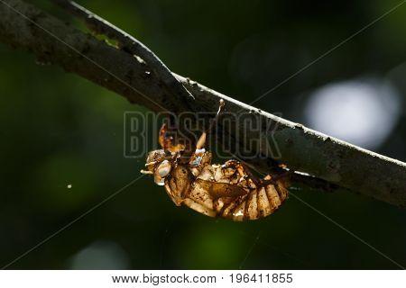 Cicada Shell Hang On Twig With Light