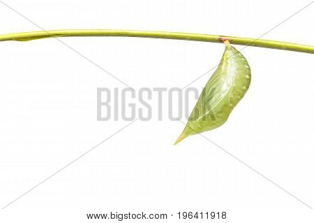 Isolated Chrysalis Of Common Duffer Butterfly ( Discophota Sondaica Boisduval ) Hanging On Twig With