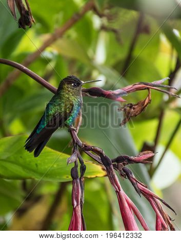 hummingbird landed in a branch in Costa Rica