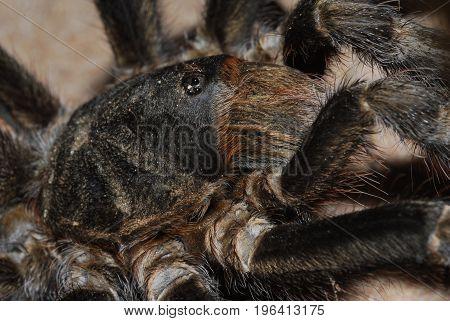 A big tarantula found wondering on the road.