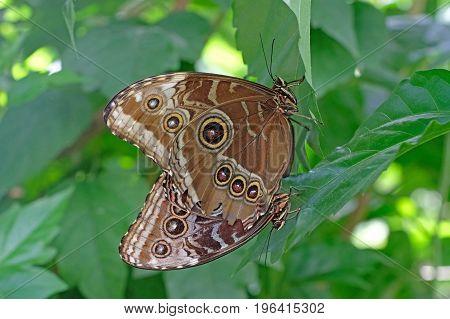 Blue Morpho butterflies mating, morpho peleides, Mainau Island Germany