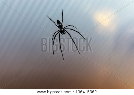 Black venomous spider with long legs handing on web