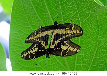 Mating pair of Machaon Butterflies, old world swallowtail, papilio machaon