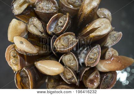 Bundle of razor clams. Overhead shot. Isolated over black slate
