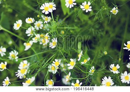 A lot of chamomile flowers in the garden
