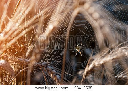 Web with spider on a field of wheat on a Sunny day. Selective focus, blur. The horizontal frame.