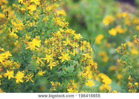 The yellow tutsan plant on a field