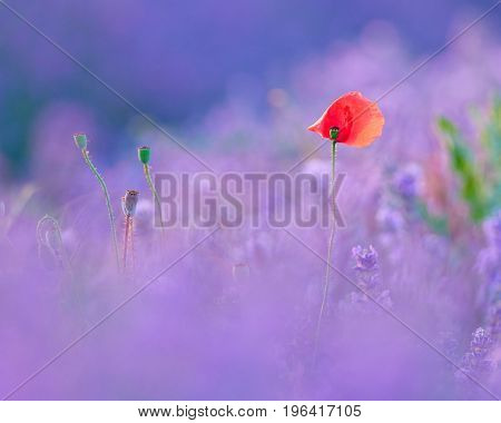 red late poppy in lavender field, diffuse blurry background