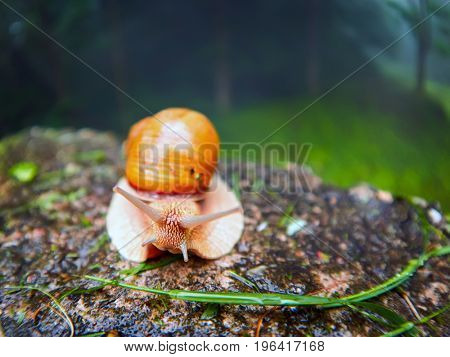 Roman Snail - Helix pomatia-  a species of large edible air-breathing land snail