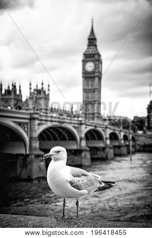 Seagull perched on the bank of the River Thames, with Westminster Bridge and the Houses of Parliament beyond. Black and white.