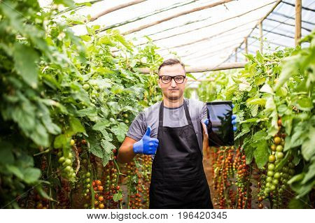 View Of An Attractive Farmer In A Greenhouse  With Tomatoes Using Tablet