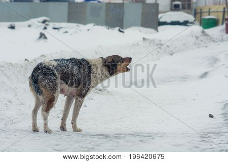 The dog pursed the tail from the cold and howls. Winter.
